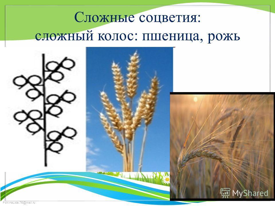 FokinaLida.75@mail.ru Сложные соцветия: сложный колос: пшеница, рожь