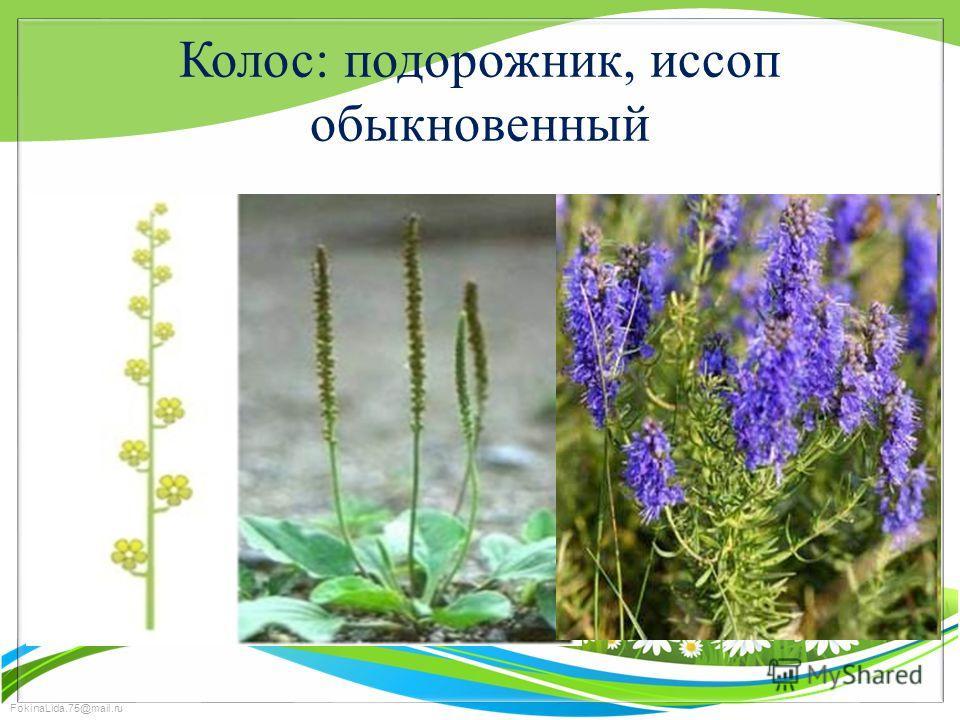 FokinaLida.75@mail.ru Колос: подорожник, иссоп обыкновенный