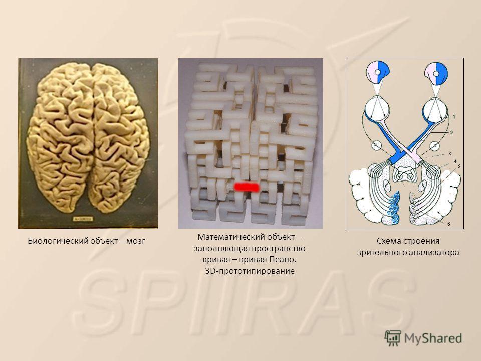 Математический объект – заполняющая пространство кривая – кривая Пеано. 3D-прототипирование Биологический объект – мозг Схема строения зрительного анализатора