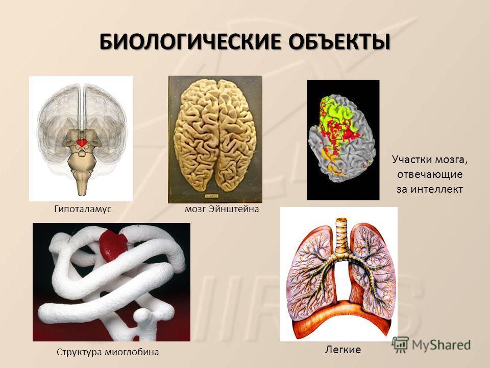 БИОЛОГИЧЕСКИЕ ОБЪЕКТЫ мозг Эйнштейна Структура миоглобина Гипоталамус Участки мозга, отвечающие за интеллект Легкие
