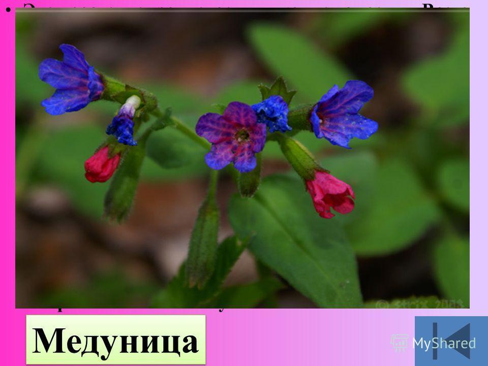 Это растение зацветает в конце апреля. Всего месяц красуется она в лесу, до листьев на деревьях. Потом померкнет и найти её в высокотравье станет не просто. На мохнатом стебельке подвешены и розовые, и фиолетовые, и синие цветы, будто на всех не хват