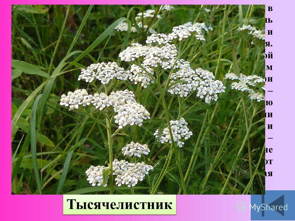 Это растение обитает почти по всей Европе, в Гималаях и Северной Америке. Оно очень неприхотливо: выдерживает и жару, и холод, и недостаток влаги. Окраска цветков белая или лиловая. Согласно легенде именно этой травой Ахилл – герой Троянской войны –