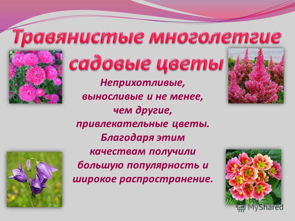 Неприхотливые, выносливые и не менее, чем другие, привлекательные цветы. Благодаря этим качествам получили большую популярность и широкое распространение.