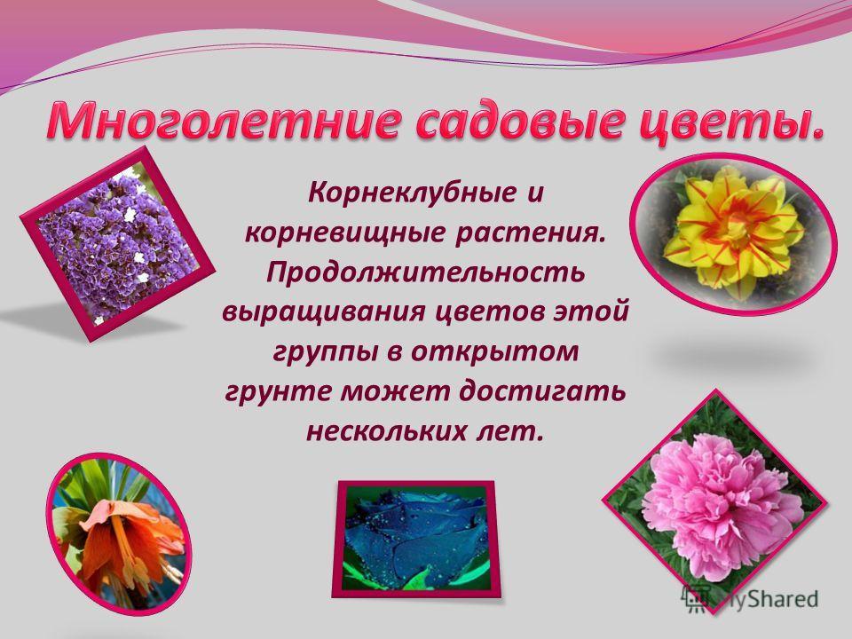 Корнеклубные и корневищные растения. Продолжительность выращивания цветов этой группы в открытом грунте может достигать нескольких лет.