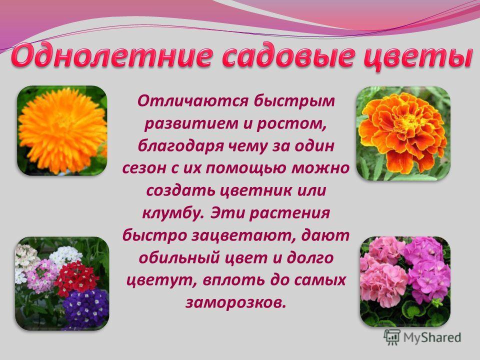 Отличаются быстрым развитием и ростом, благодаря чему за один сезон с их помощью можно создать цветник или клумбу. Эти растения быстро зацветают, дают обильный цвет и долго цветут, вплоть до самых заморозков.