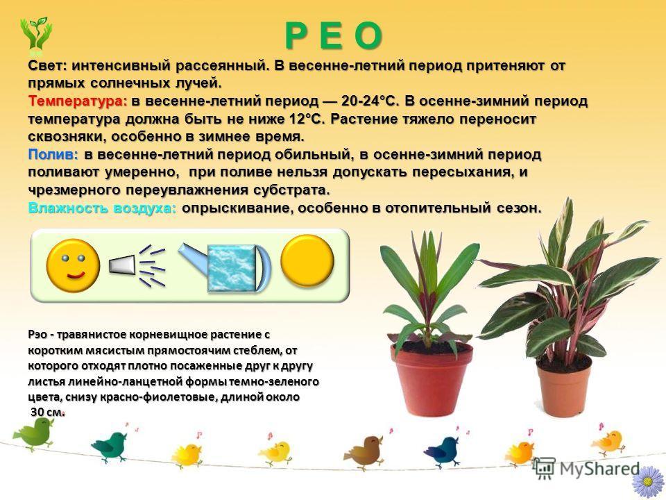 Р Е О Рэо - травянистое корневищное растение с коротким мясистым прямостоячим стеблем, от которого отходят плотно посаженные друг к другу листья линейно-ланцетной формы темно-зеленого цвета, снизу красно-фиолетовые, длиной около 30 см. 30 см. Свет: и