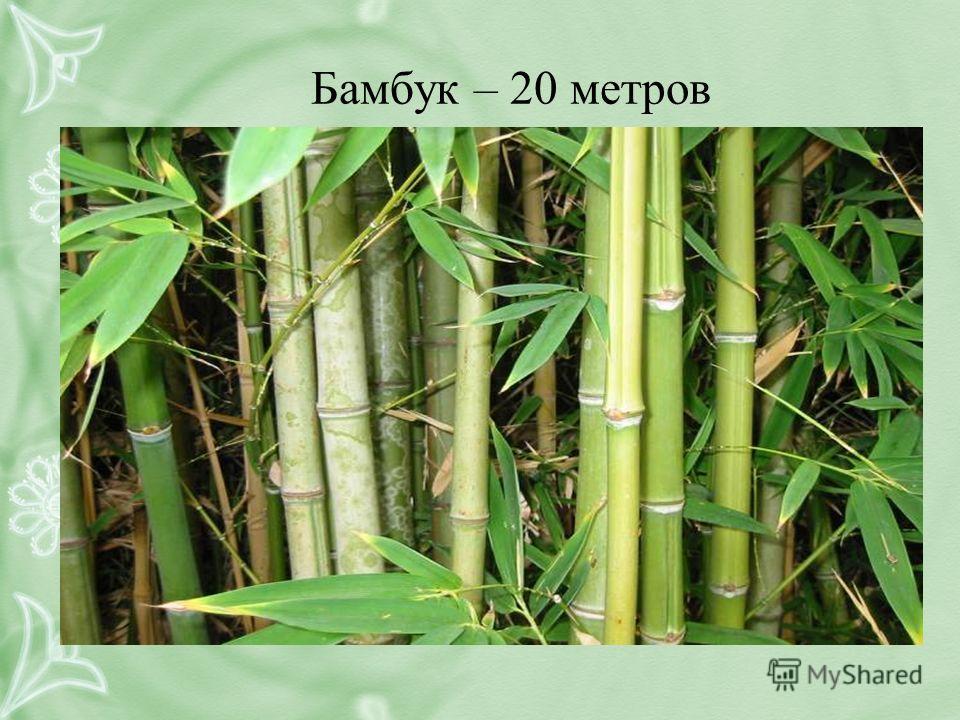 Бамбук – 20 метров