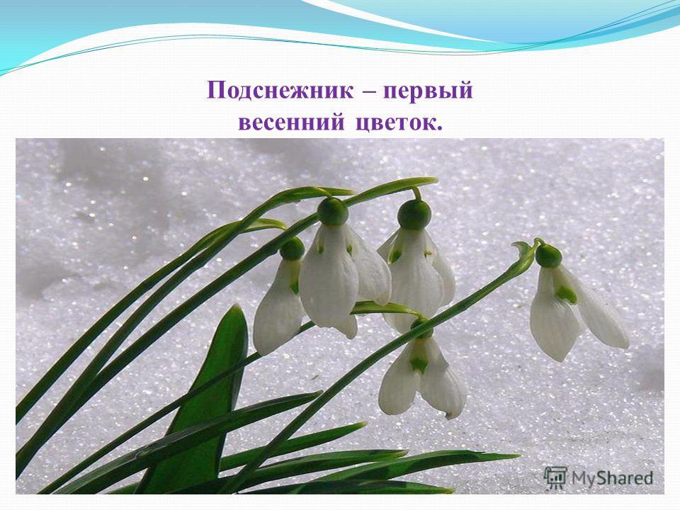 Подснежник – первый весенний цветок.