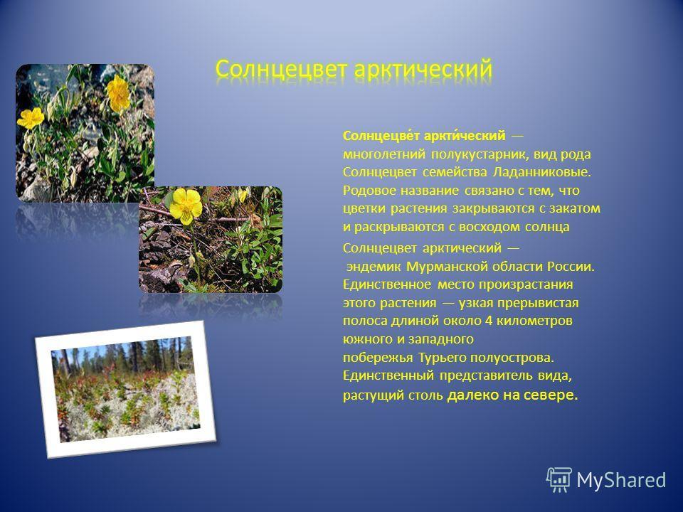 Солнцецве́т аркти́ческий многолетний полукустарник, вид рода Солнцецвет семейства Ладанниковые. Родовое название связано с тем, что цветки растения закрываются с закатом и раскрываются с восходом солнца Солнцецвет арктический эндемик Мурманской облас