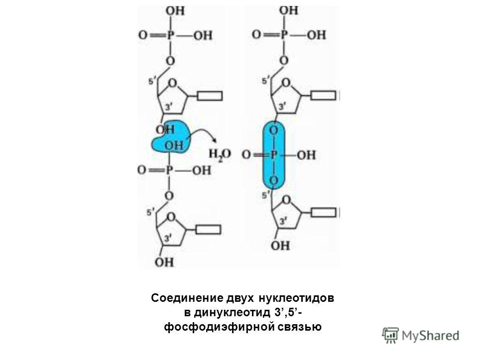 Соединение двух нуклеотидов в динуклеотид 3,5- фосфодиэфирной связью