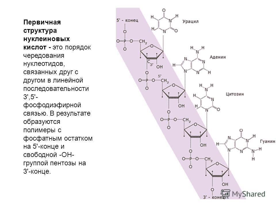 Первичная структура нуклеиновых кислот - это порядок чередования нуклеотидов, связанных друг с другом в линейной последовательности 3',5'- фосфодиэфирной связью. В результате образуются полимеры с фосфатным остатком на 5'-конце и свободной -ОН- групп