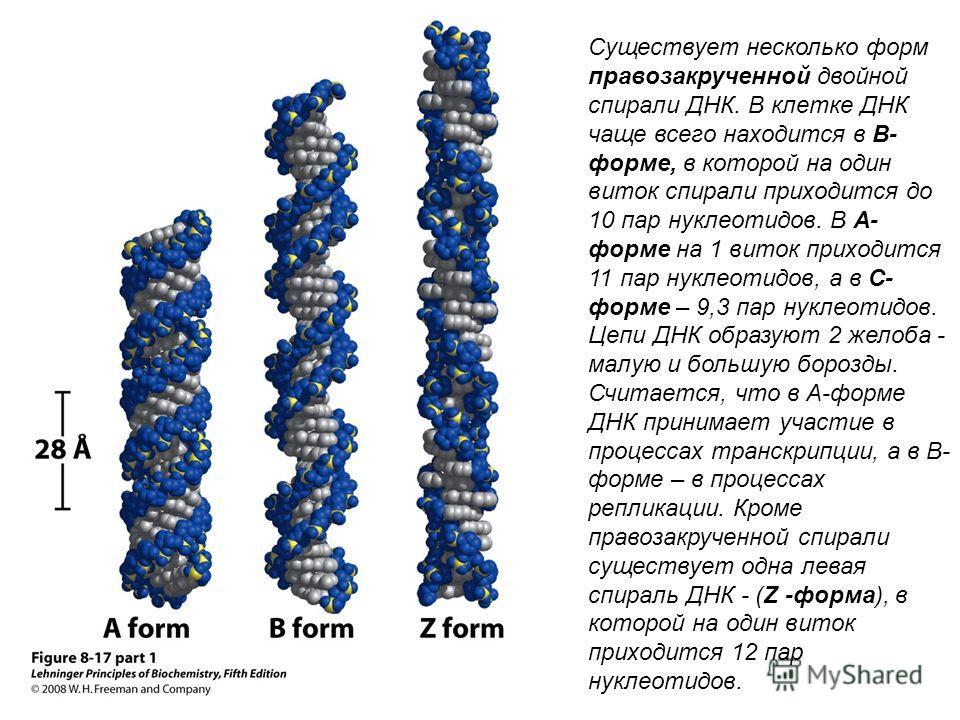 Существует несколько форм правозакрученной двойной спирали ДНК. В клетке ДНК чаще всего находится в В- форме, в которой на один виток спирали приходится до 10 пар нуклеотидов. В А- форме на 1 виток приходится 11 пар нуклеотидов, а в С- форме – 9,3 па