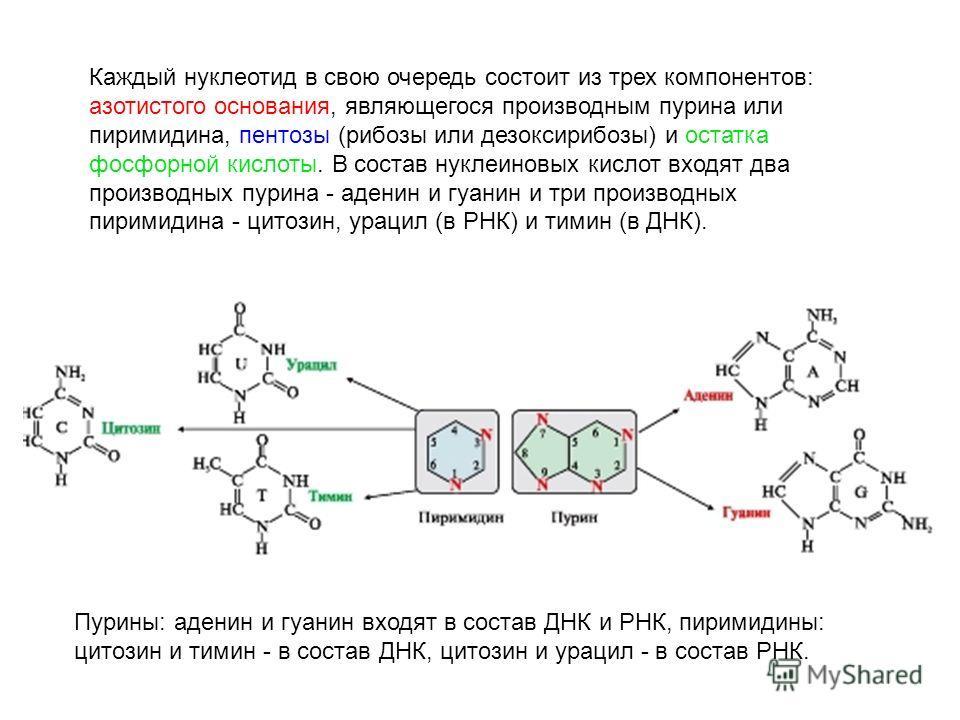 Каждый нуклеотид в свою очередь состоит из трех компонентов: азотистого основания, являющегося производным пурина или пиримидина, пентозы (рибозы или дезоксирибозы) и остатка фосфорной кислоты. В состав нуклеиновых кислот входят два производных пурин