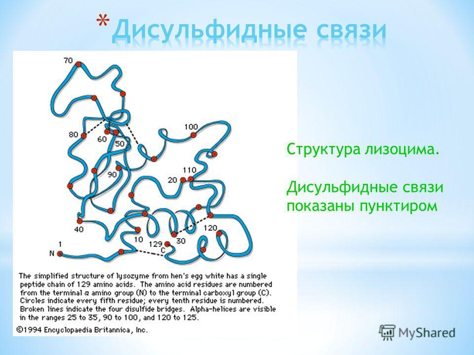 Структура лизоцима. Дисульфидные связи показаны пунктиром