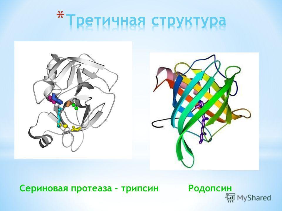 Сериновая протеаза - трипсин Родопсин