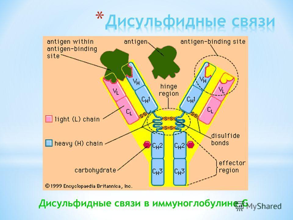Дисульфидные связи в иммуноглобулине G