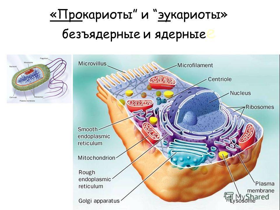 «Прокариоты и эукариоты» безъядерные и ядерные е
