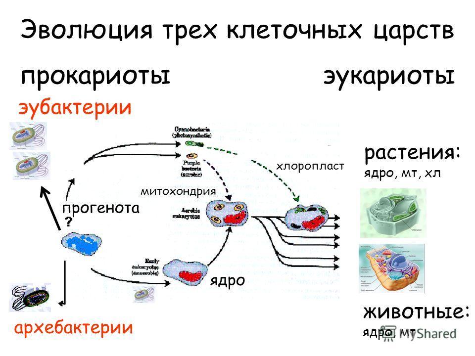 Эволюция трех клеточных царств прокариоты эукариоты эубактерии архебактерии растения: ядро, мт, хл животные: ядро, мт ядро мт ядро хлоропласт митохондрия прогенота
