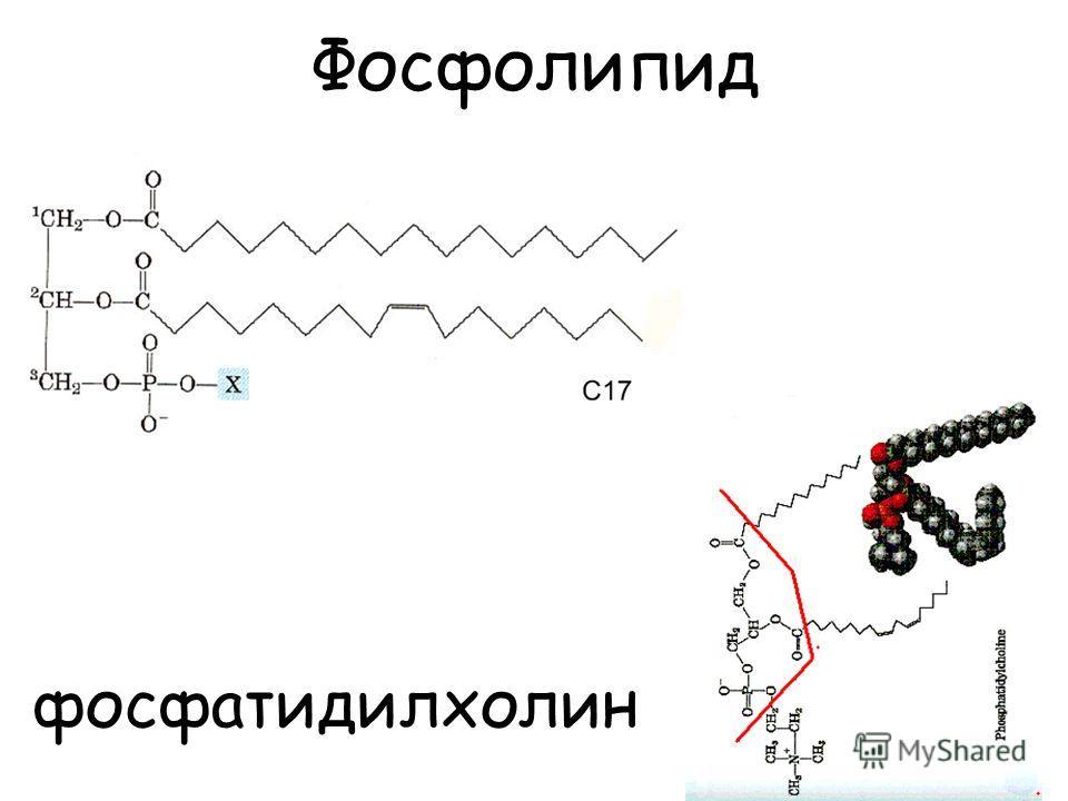 Фосфолипид фосфатидилхолин