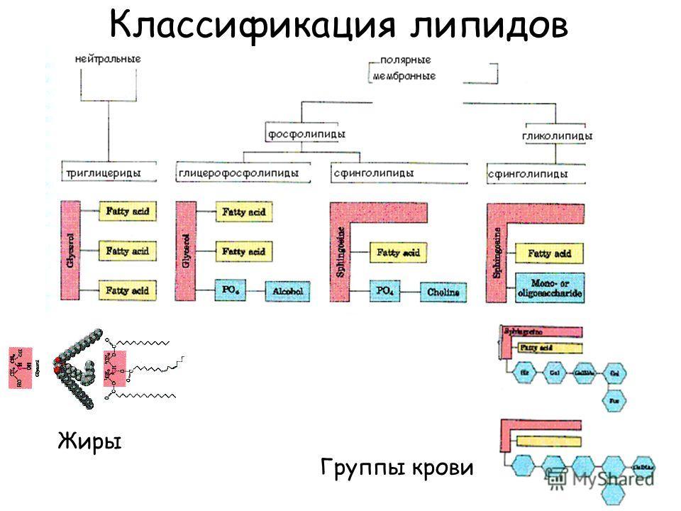 Классификация липидов Группы крови Жиры