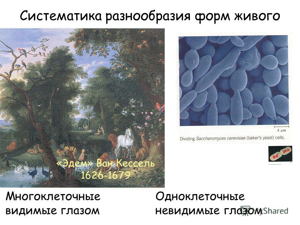 Систематика разнообразия форм живого «Эдем» Ван Кессель 1626-1679 Многоклеточные Одноклеточные видимые глазомневидимые глазом