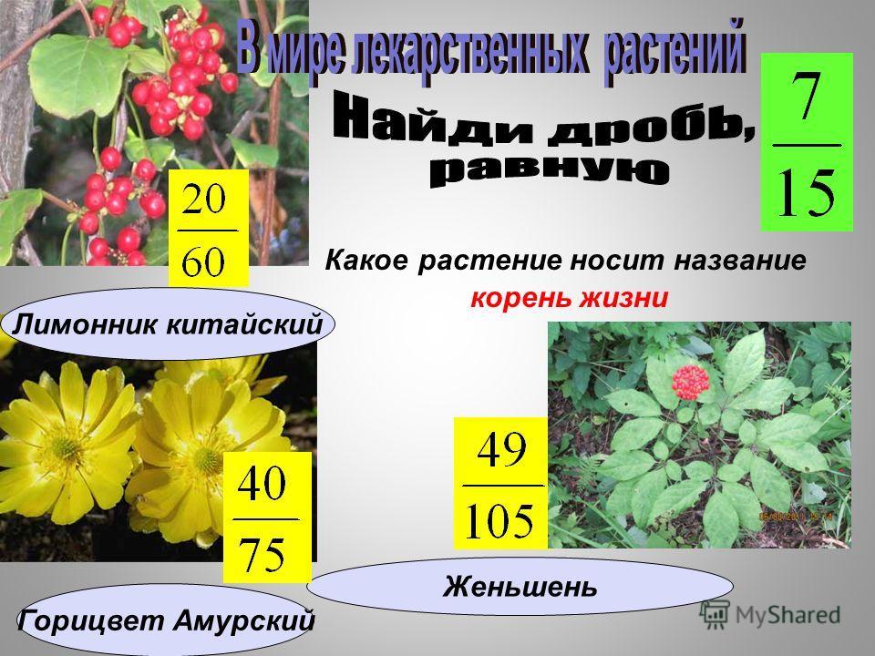 Какое растение носит название корень жизни Женьшень Горицвет Амурский Лимонник китайский