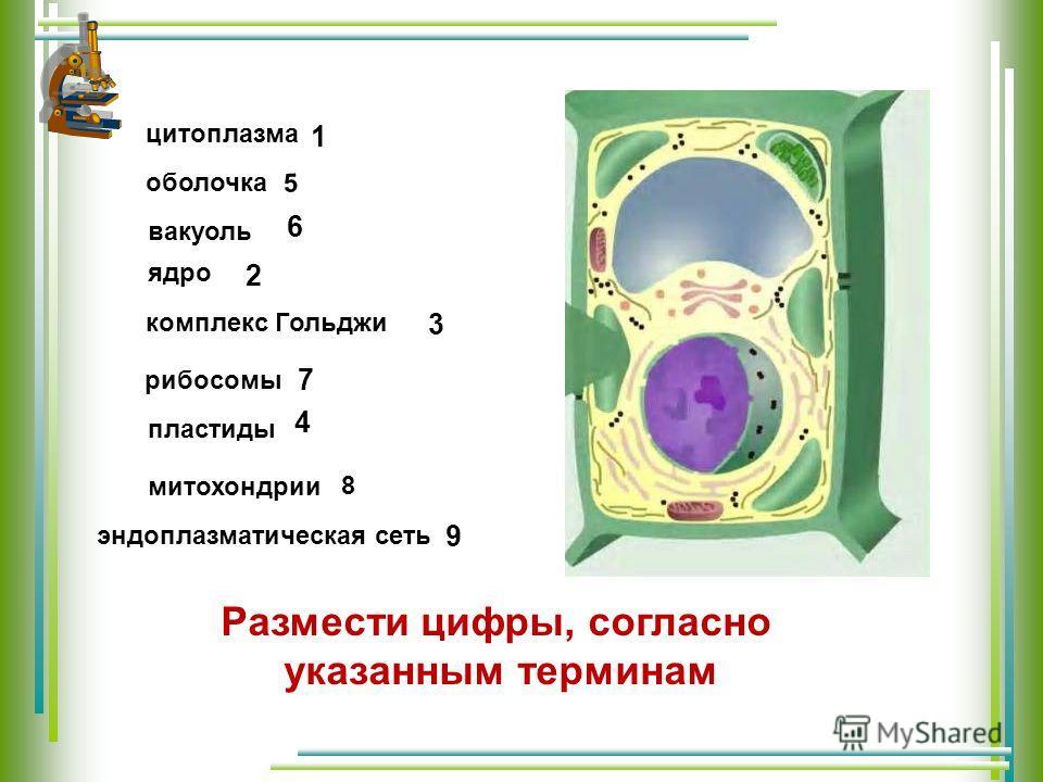 цитоплазма оболочка вакуоль ядро комплекс Гольджи рибосомы пластиды 3 2 1 4 5 6 7 митохондрии 8 Размести цифры, согласно указанным терминам эндоплазматическая сеть 9