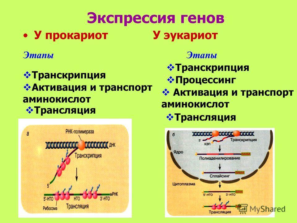 Экспрессия генов У прокариот У эукариот Этапы Транскрипция Активация и транспорт аминокислот Трансляция Транскрипция Процессинг Активация и транспорт аминокислот Трансляция