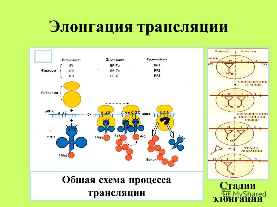 Элонгация трансляции Стадии элонгации Общая схема процесса трансляции