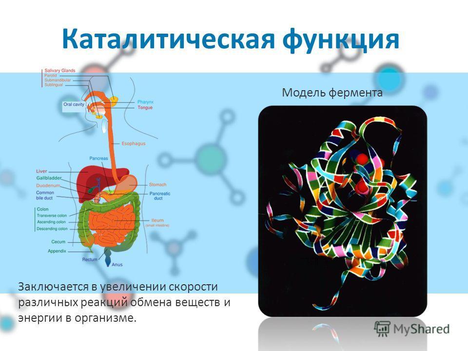 Каталитическая функция Модель фермента Заключается в увеличении скорости различных реакций обмена веществ и энергии в организме.