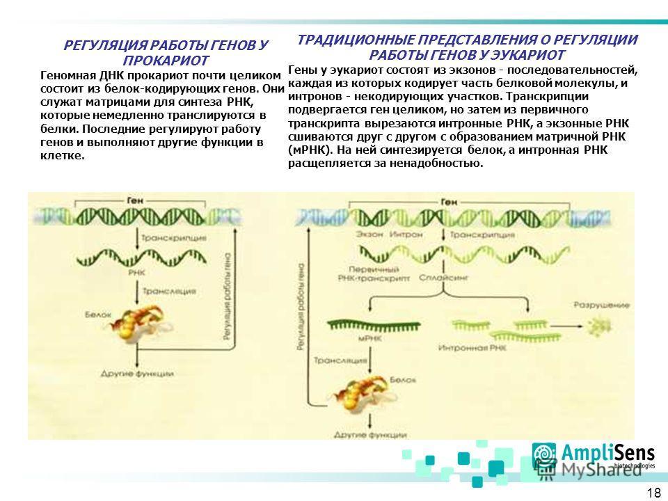 18 РЕГУЛЯЦИЯ РАБОТЫ ГЕНОВ У ПРОКАРИОТ Геномная ДНК прокариот почти целиком состоит из белок-кодирующих генов. Они служат матрицами для синтеза РНК, которые немедленно транслируются в белки. Последние регулируют работу генов и выполняют другие функции
