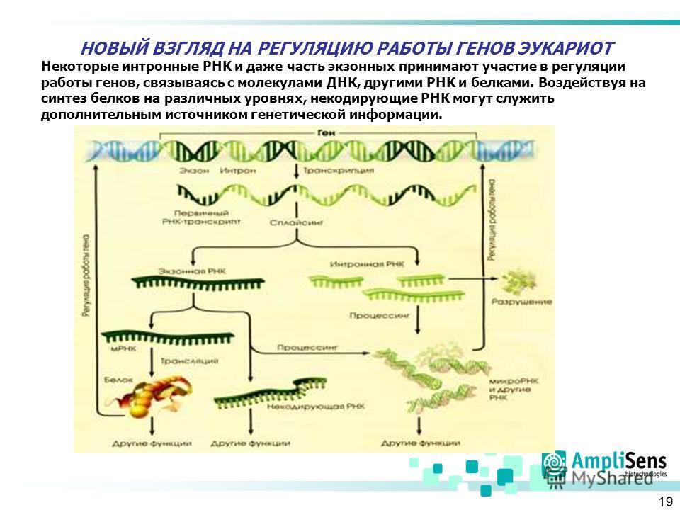19 НОВЫЙ ВЗГЛЯД НА РЕГУЛЯЦИЮ РАБОТЫ ГЕНОВ ЭУКАРИОТ Некоторые интронные РНК и даже часть экзонных принимают участие в регуляции работы генов, связываясь с молекулами ДНК, другими РНК и белками. Воздействуя на синтез белков на различных уровнях, некоди