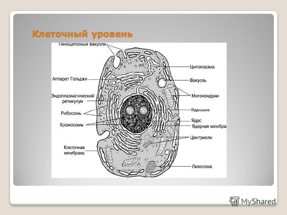 Клеточный уровень
