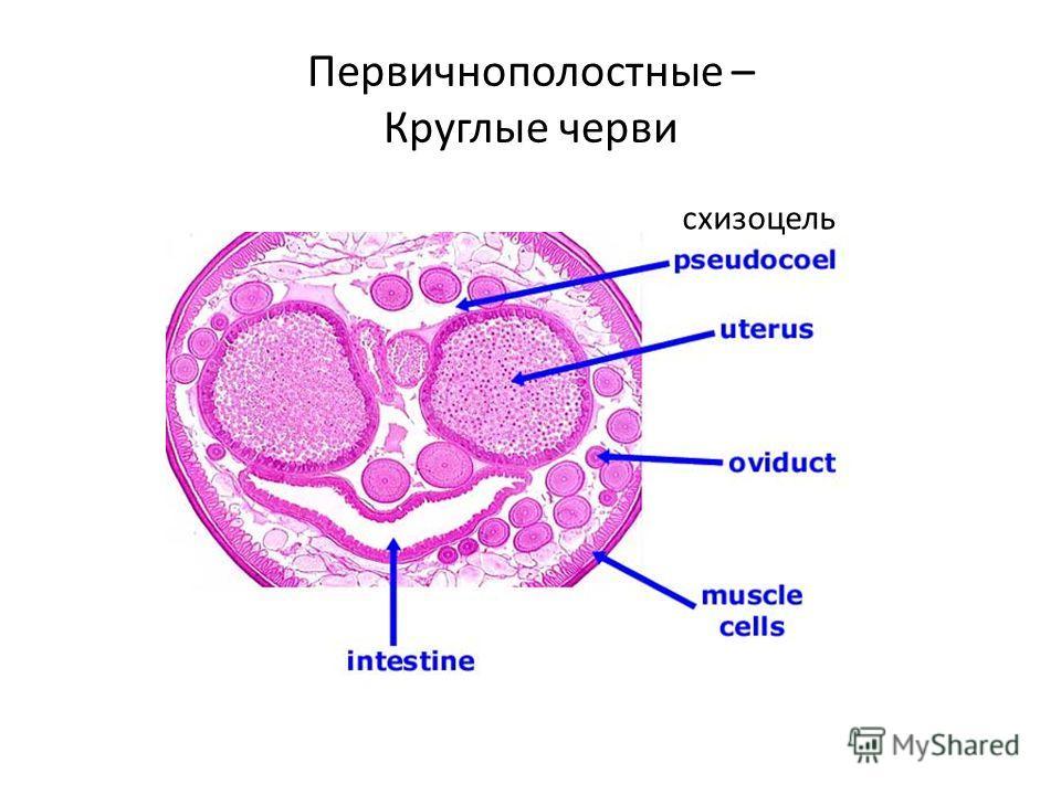 Первичнополостные – Круглые черви схизоцель