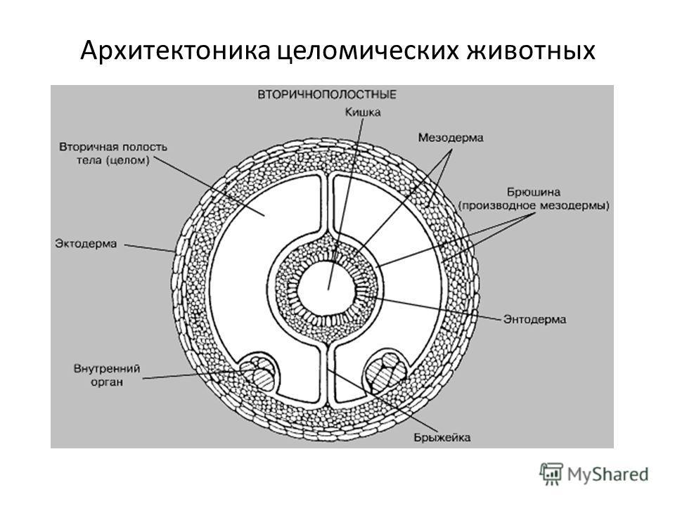 Архитектоника целомических животных