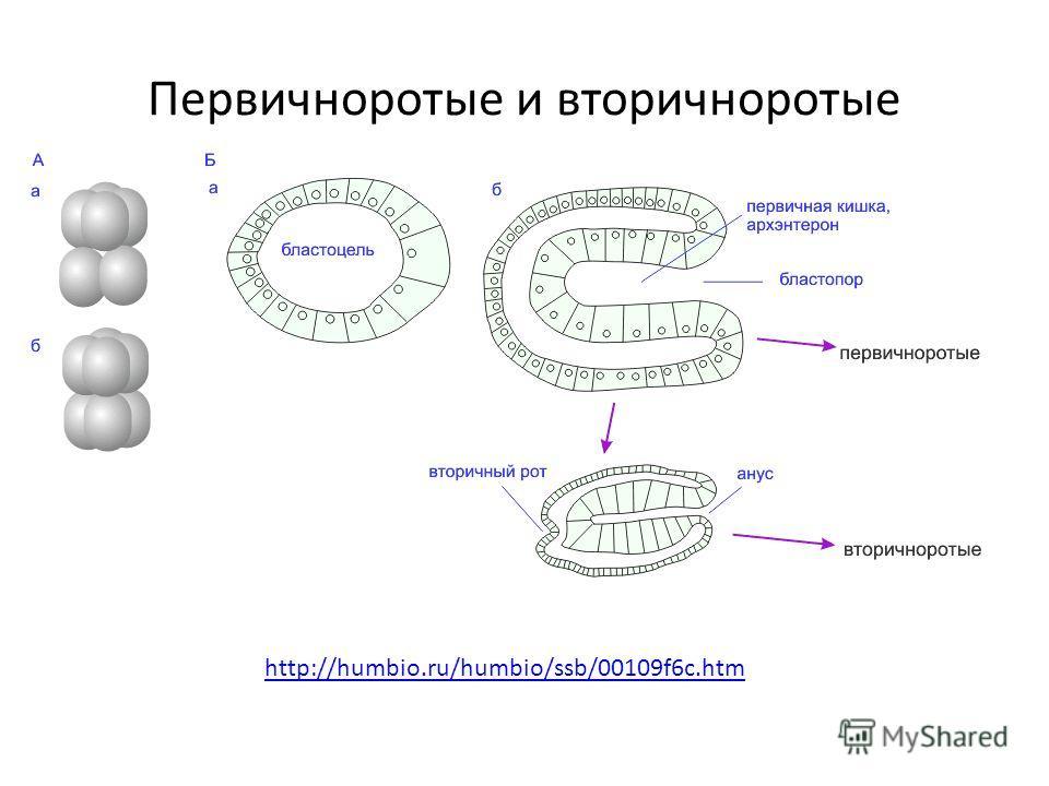Первичноротые и вторичноротые http://humbio.ru/humbio/ssb/00109f6c.htm
