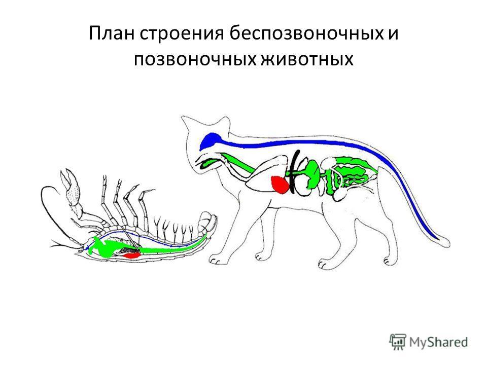 План строения беспозвоночных и позвоночных животных