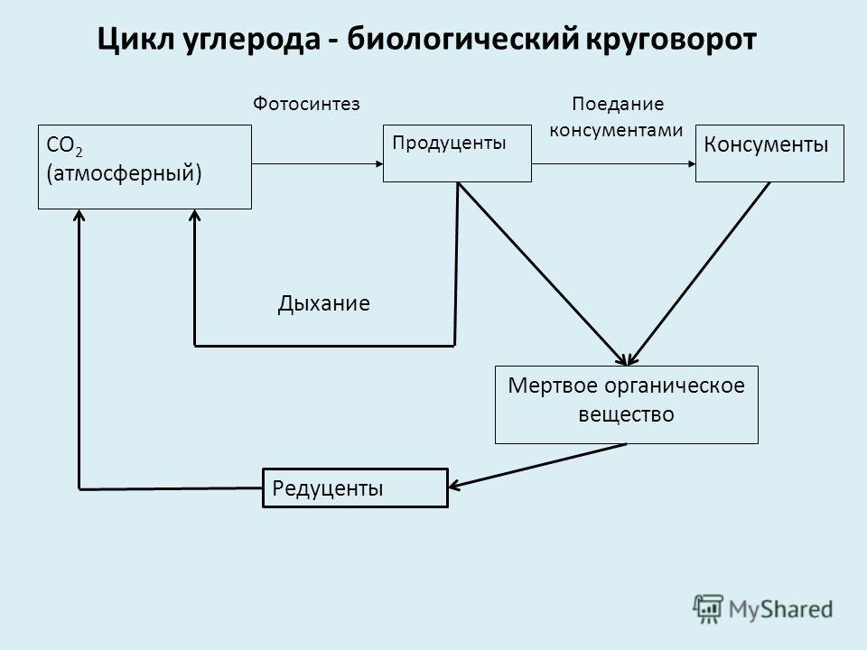 Цикл углерода - биологический круговорот СО 2 (атмосферный) Фотосинтез Продуценты Поедание консументами Консументы Мертвое органическое вещество Дыхание Редуценты