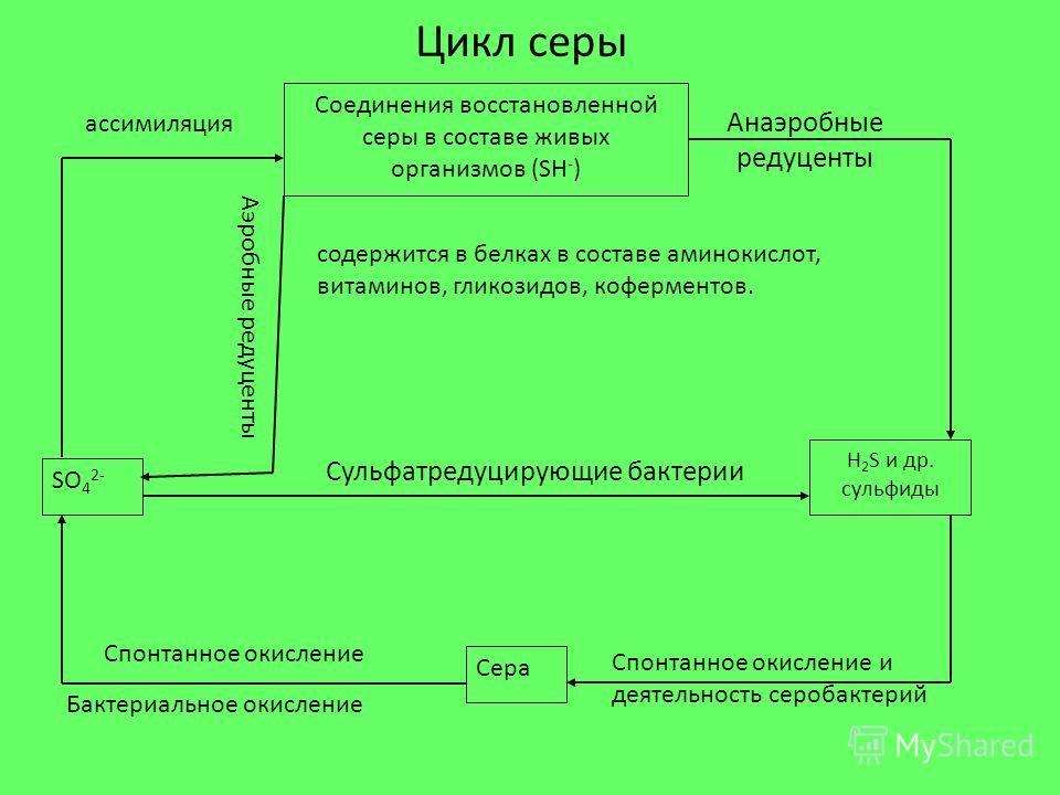 Цикл серы Сульфатредуцирующие бактерии Спонтанное окисление Бактериальное окисление ассимиляция Аэробные редуценты Соединения восстановленной серы в составе живых организмов (SH - ) SO 4 2- Сера H 2 S и др. сульфиды Спонтанное окисление и деятельност