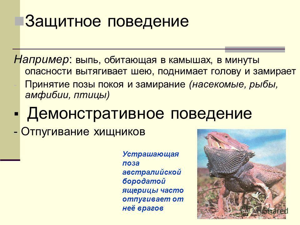 Защитное поведение Например: выпь, обитающая в камышах, в минуты опасности вытягивает шею, поднимает голову и замирает - Принятие позы покоя и замирание (насекомые, рыбы, амфибии, птицы) Демонстративное поведение - Отпугивание хищников Устрашающая по