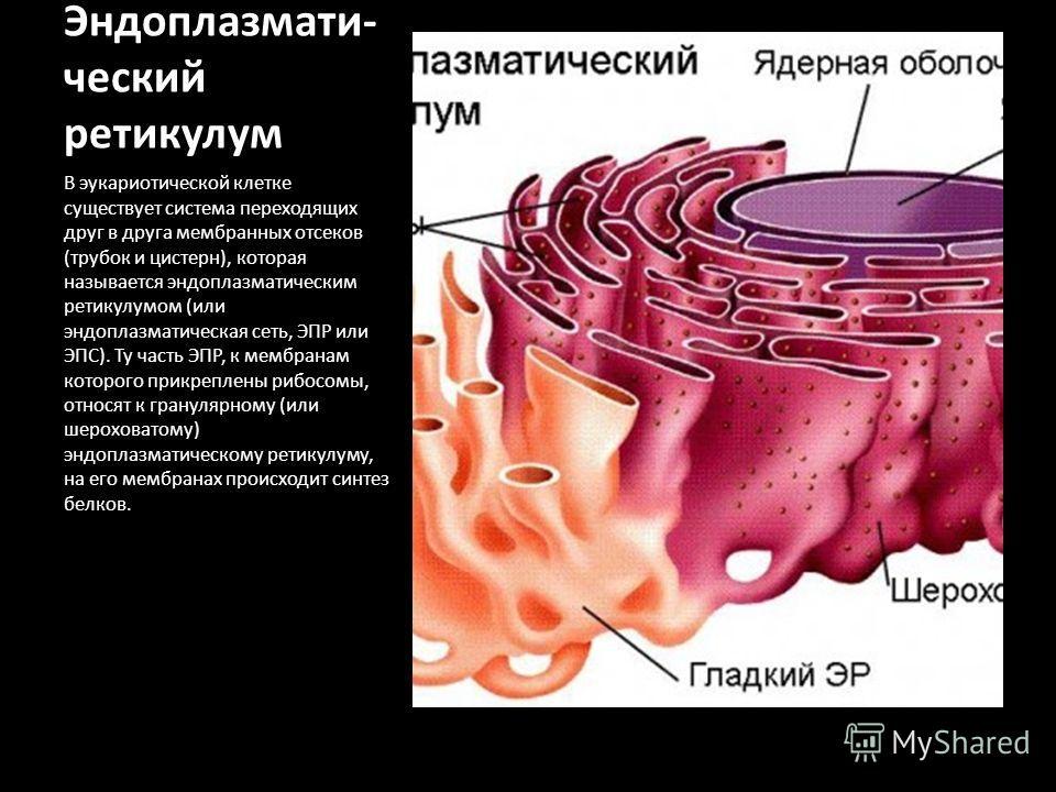 Эндоплазмати- ческий ретикулум В эукариотической клетке существует система переходящих друг в друга мембранных отсеков (трубок и цистерн), которая называется эндоплазматическим ретикулумом (или эндоплазматическая сеть, ЭПР или ЭПС). Ту часть ЭПР, к м