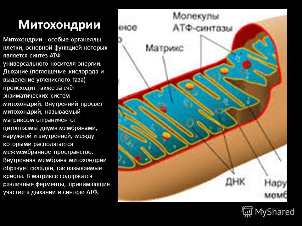 Митохондрии Митохондрии - особые органеллы клетки, основной функцией которых является синтез АТФ - универсального носителя энергии. Дыхание (поглощение кислорода и выделение углекислого газа) происходит также за счёт энзиматических систем митохондрий