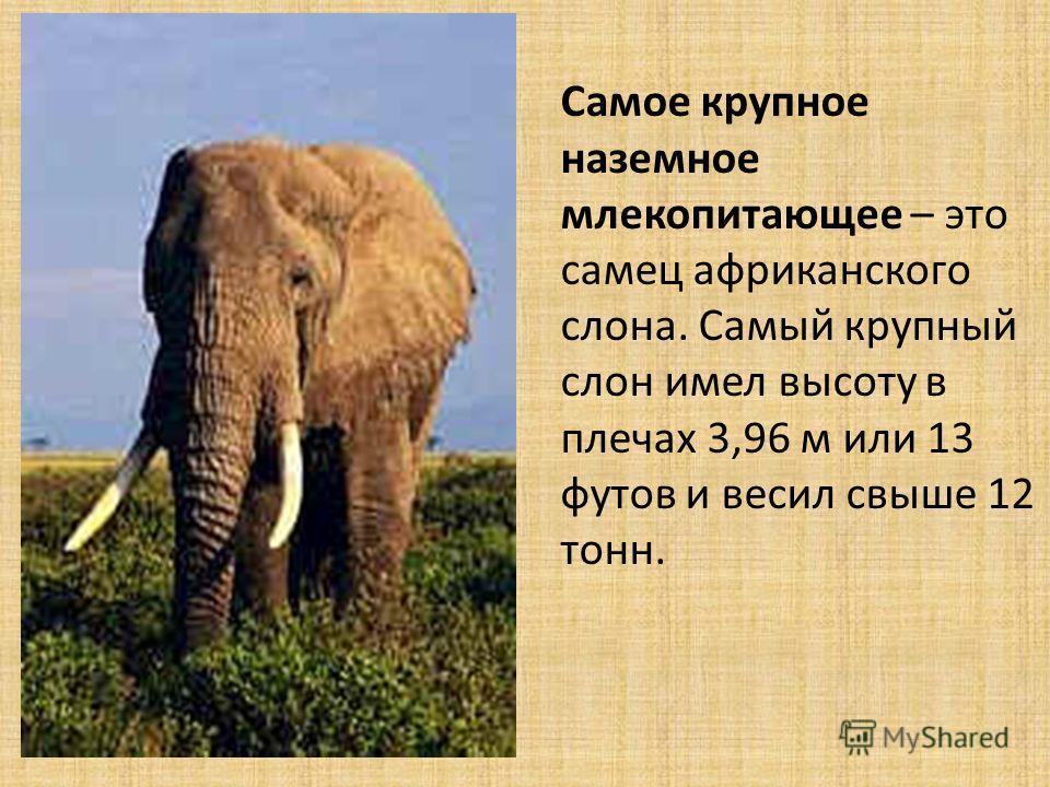 Самое крупное наземное млекопитающее – это самец африканского слона. Самый крупный слон имел высоту в плечах 3,96 м или 13 футов и весил свыше 12 тонн.