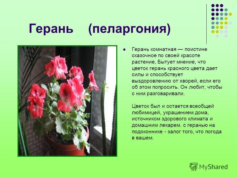 Герань (пеларгония) Герань комнатная поистине сказочное по своей красоте растение, Бытует мнение, что цветок герань красного цвета дает силы и способствует выздоровлению от хворей, если его об этом попросить. Он любит, чтобы с ним разговаривали. Цвет