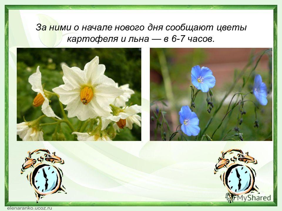 За ними о начале нового дня сообщают цветы картофеля и льна в 6-7 часов.