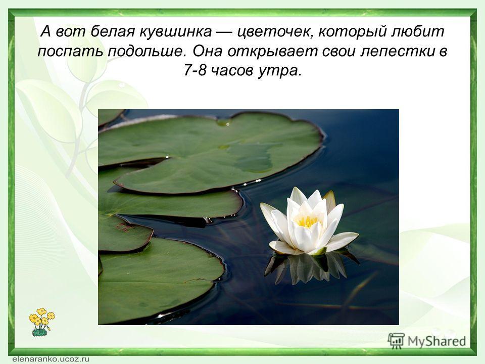 А вот белая кувшинка цветочек, который любит поспать подольше. Она открывает свои лепестки в 7-8 часов утра.