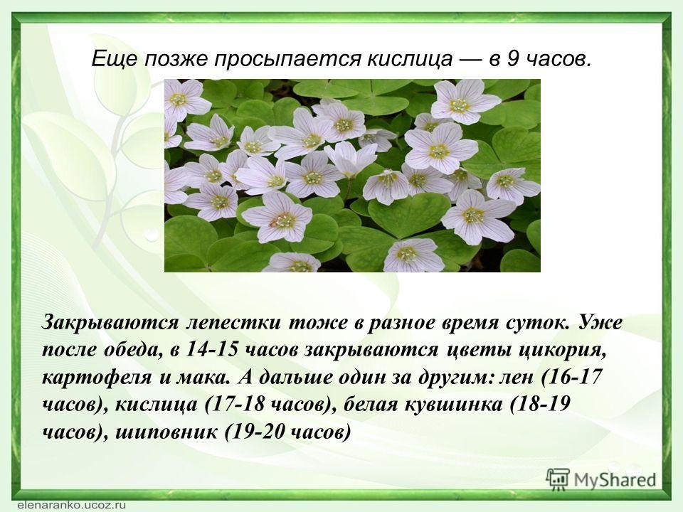 Еще позже просыпается кислица в 9 часов. Закрываются лепестки тоже в разное время суток. Уже после обеда, в 14-15 часов закрываются цветы цикория, картофеля и мака. А дальше один за другим: лен (16-17 часов), кислица (17-18 часов), белая кувшинка (18