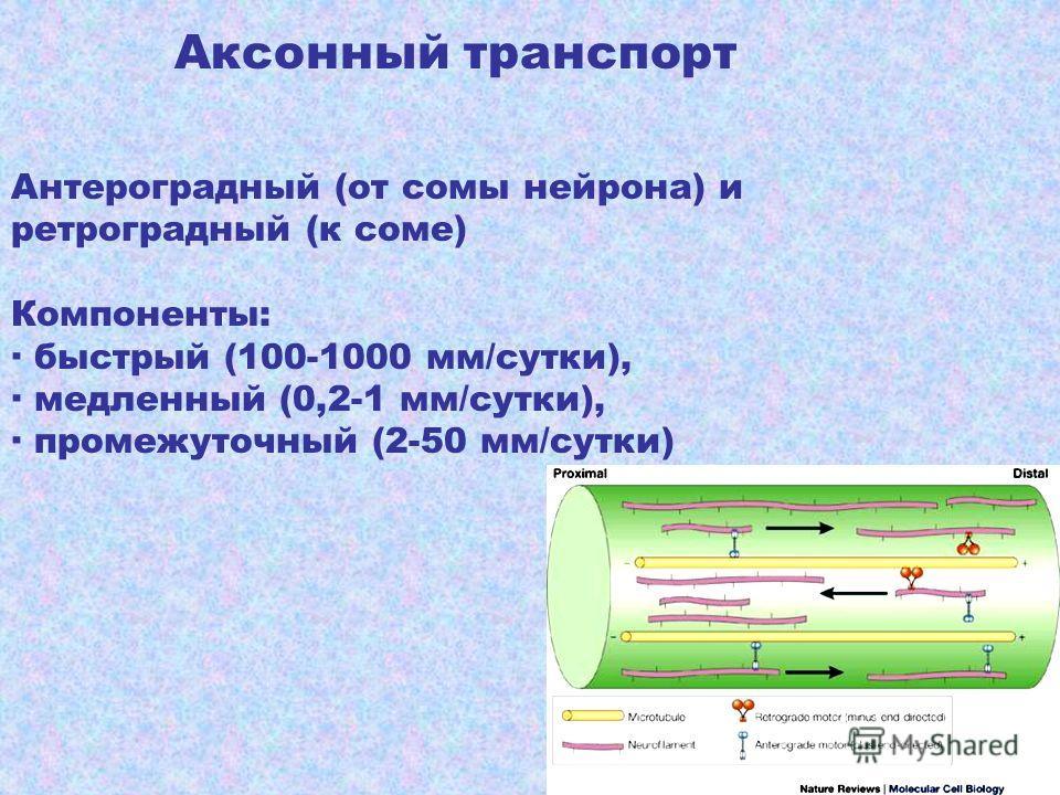 Аксонный транспорт Антероградный (от сомы нейрона) и ретроградный (к соме) Компоненты: быстрый (100-1000 мм/сутки), медленный (0,2-1 мм/сутки), промежуточный (2-50 мм/сутки)