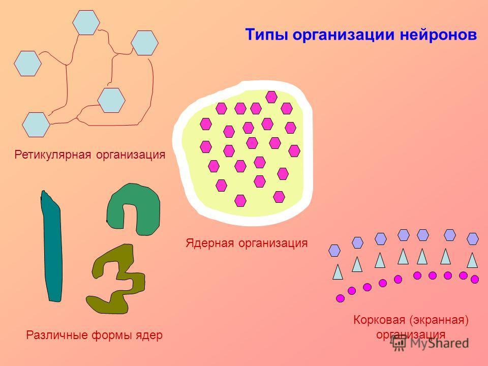 Ретикулярная организация Ядерная организация Корковая (экранная) организация Типы организации нейронов Различные формы ядер