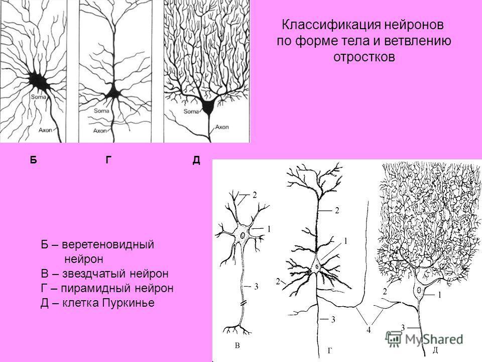 Б – веретеновидный нейрон В – звездчатый нейрон Г – пирамидный нейрон Д – клетка Пуркинье БГД Классификация нейронов по форме тела и ветвлению отростков